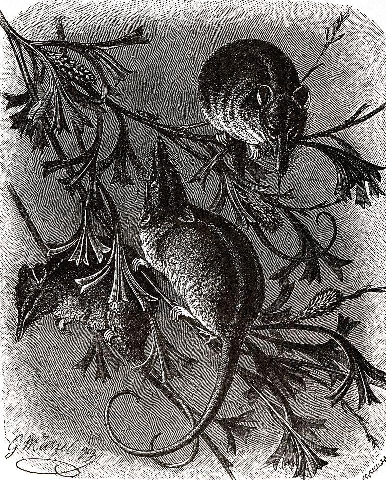 Хоботноголовый кускус (Tarsipes spenserae)