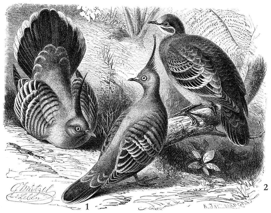 1 - Хохлатый бронзовокрылый голубь (Ocyphaps lophotes) 2 - Обыкновенный бронзовокрылый голубь-фапс (Phaps chalcoptera)