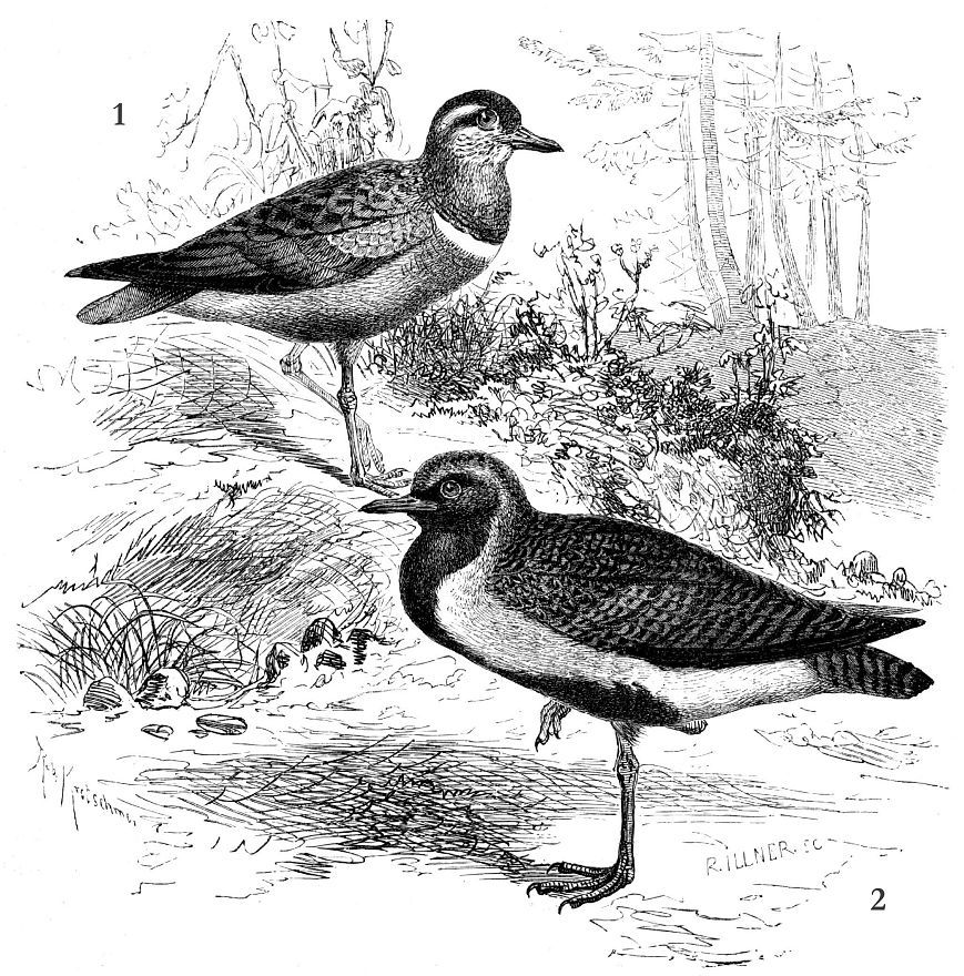 1 - Хрустан (Eudromias тorinellus) 2 - Золотистая ржанка (Pluvialis apricaria)