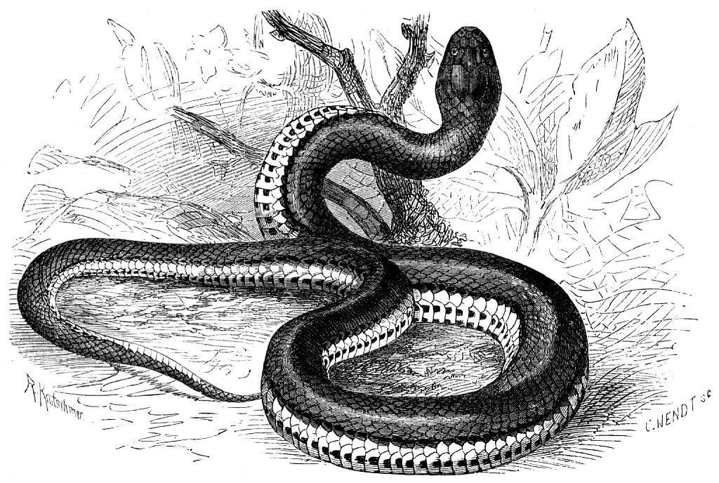 Килехвостая косоглазая змея (Helicops carinicaudus)