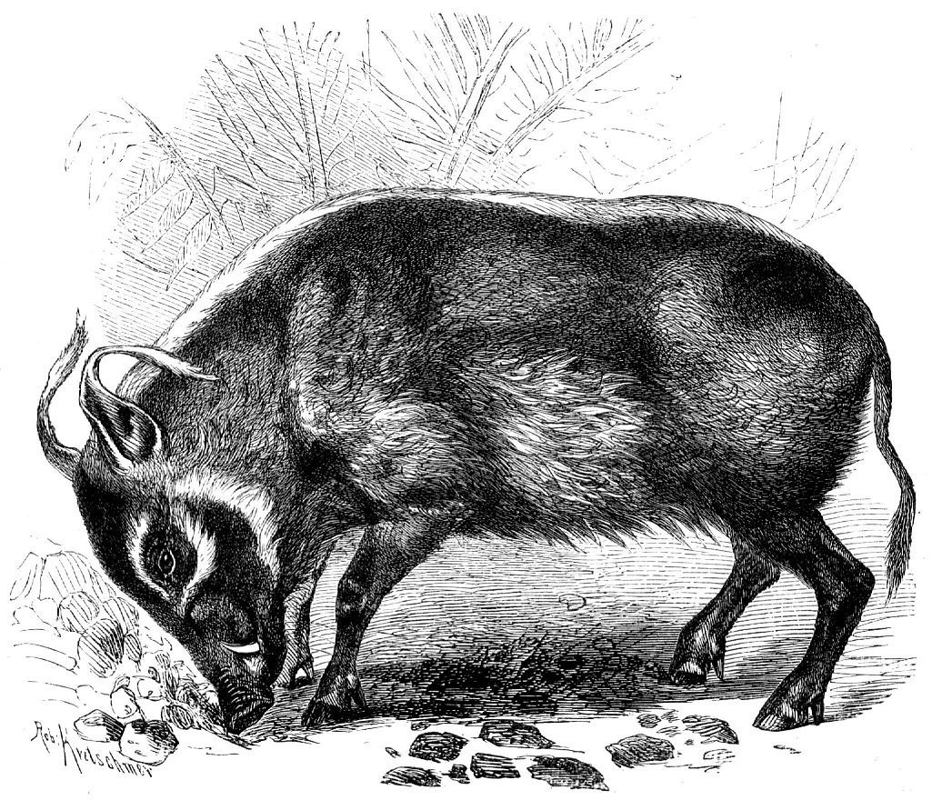 Кистеухая свинья (Potamochoerus porcus)
