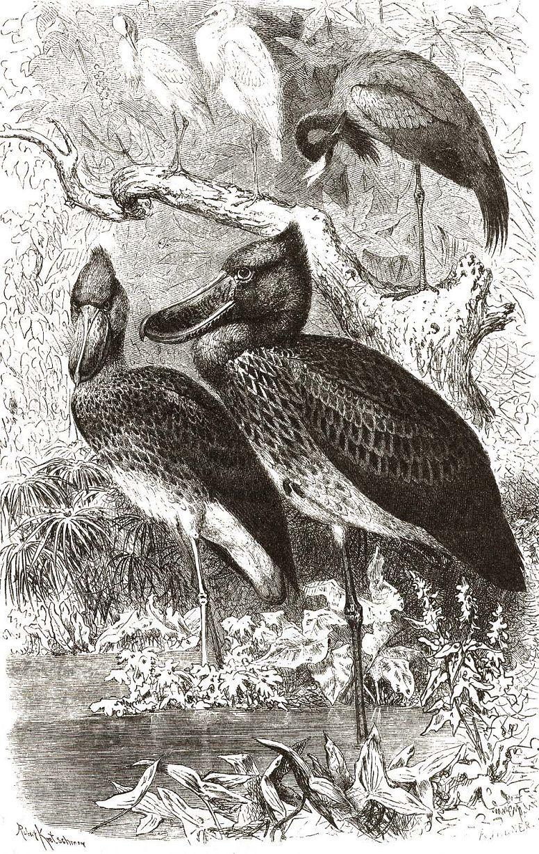 Китоглав (Balaeniceps rex)