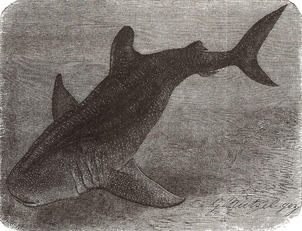 Китовая акула (Rhinodon typits)