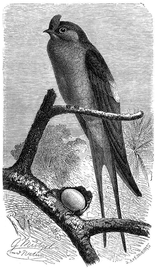 Клехо, или хохлатый древесный стриж (Hemiprocne longipennis)