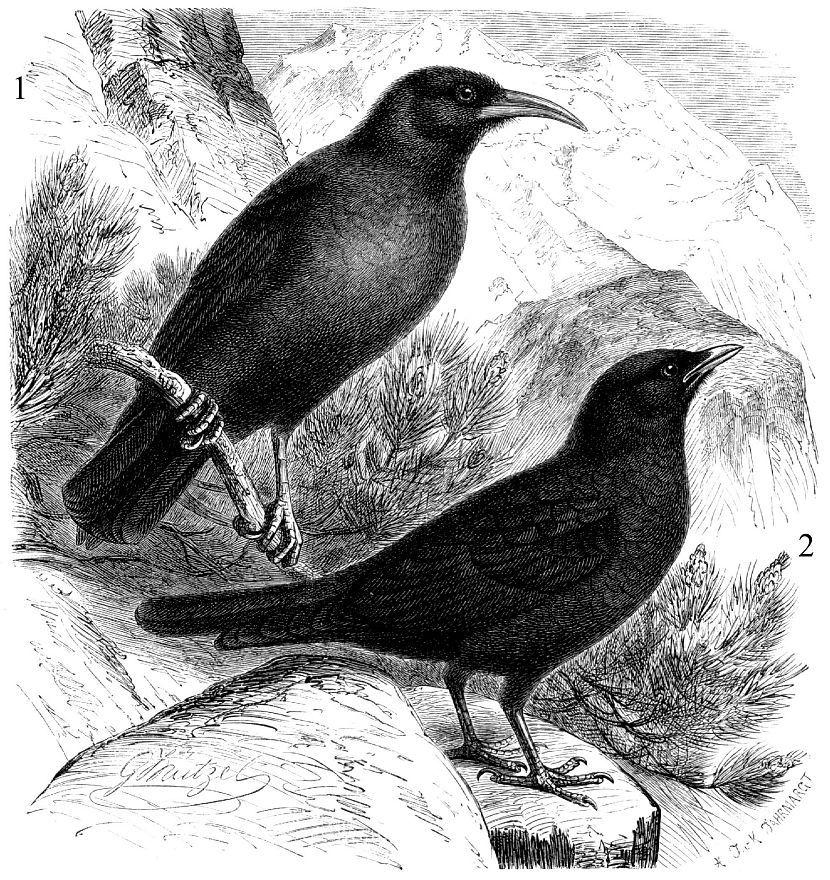 1 — Клушица (Pyrrhocorax pyrrhocorax) 2 - Альпийская галка (Pyrrhocorax graculus)