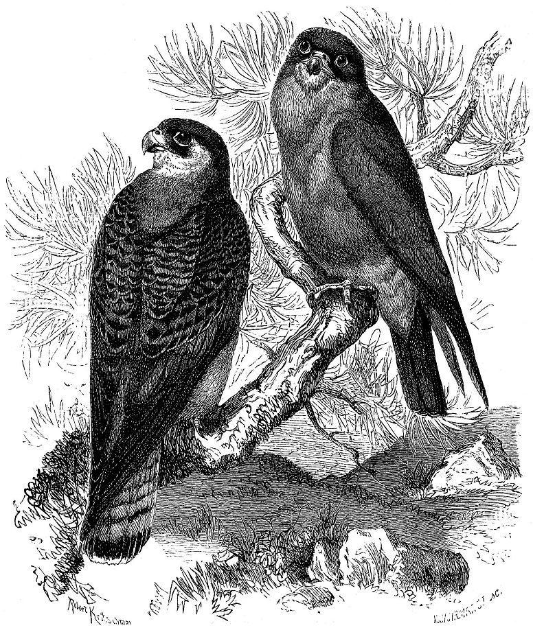 Кобчик (Falco vesperiinus)