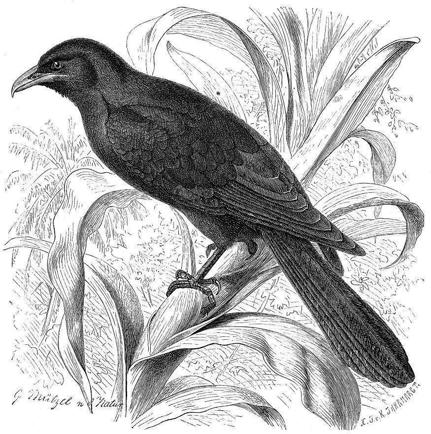 Коэль (Eudynamis scolopacea)