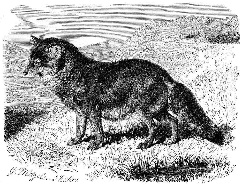 Койот (Canis latrans)