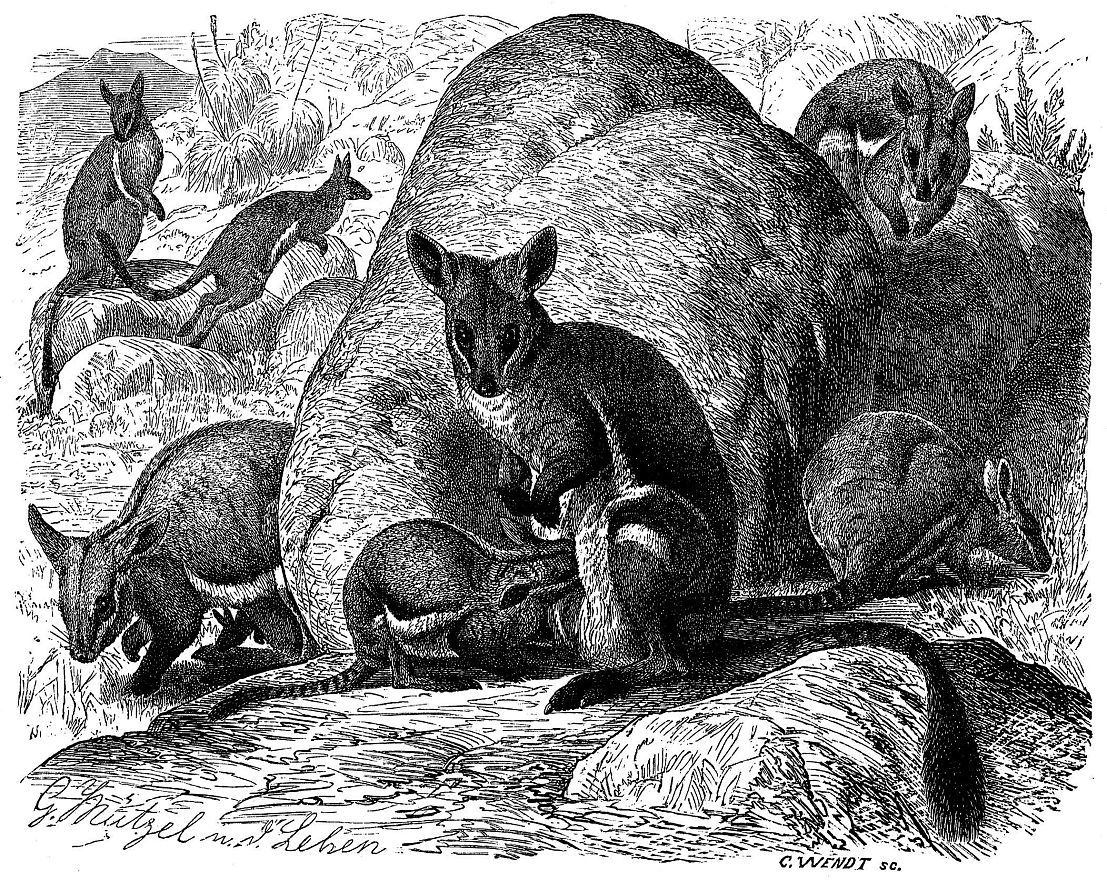 Кольцехвостый, скалистый, кенгуру (Petrogale xanthopus)