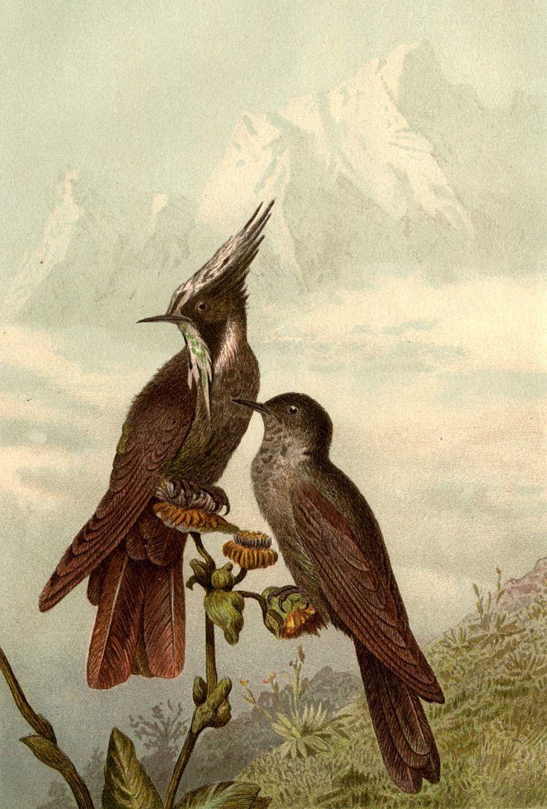 Колибри-сафо (Sappho spargamtra)