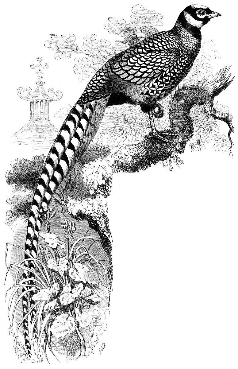 Королевский фазан (Syrmaticus reevesii)