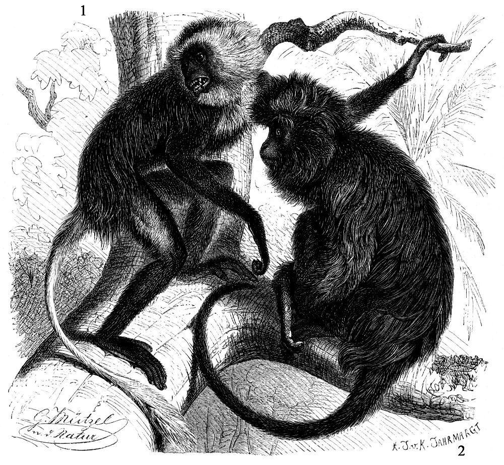 1 - Королевский колобус (Colobus polykomos) 2 - Черный колобус (Colobus satanas)