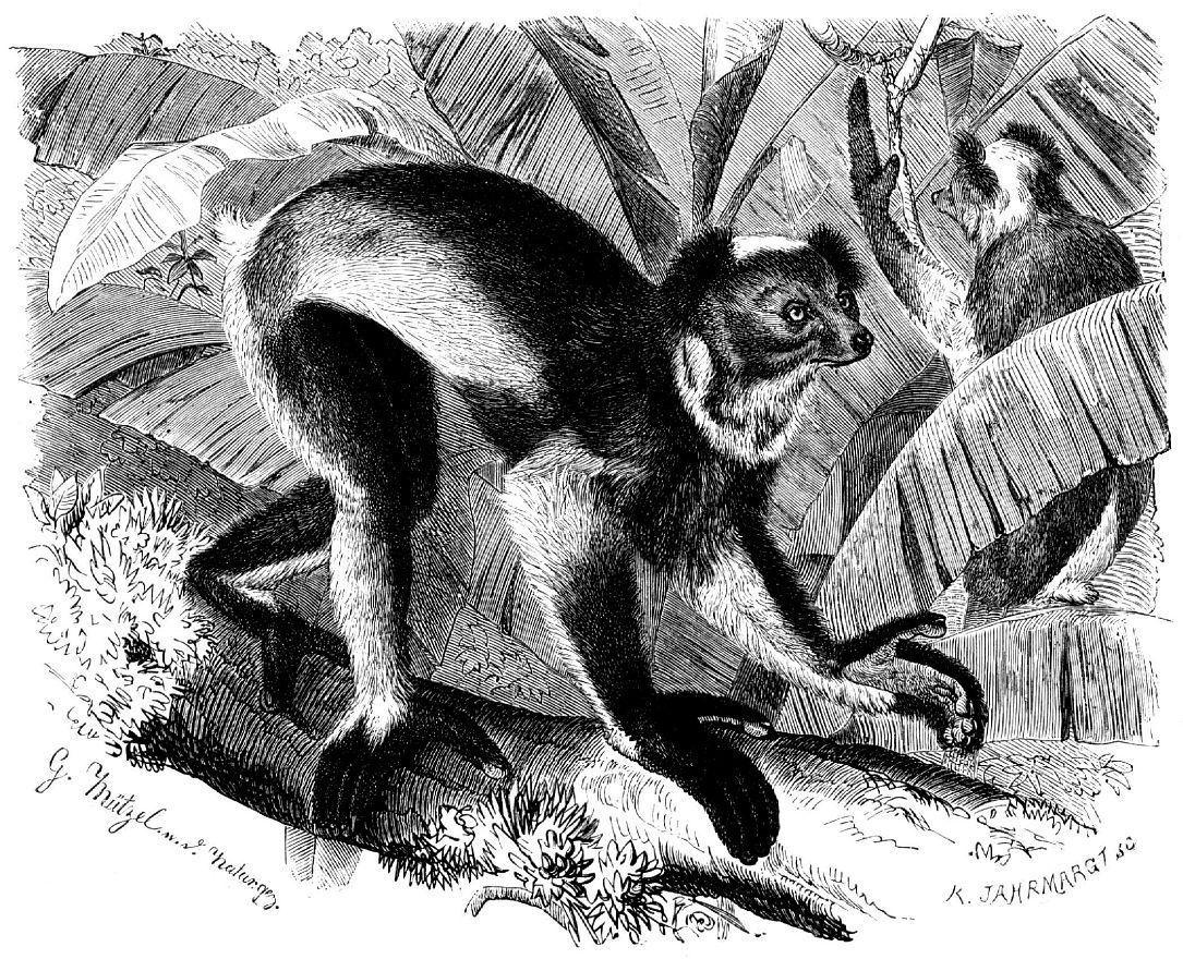 Коротко хвостый индри, или бабако (Indri indri)