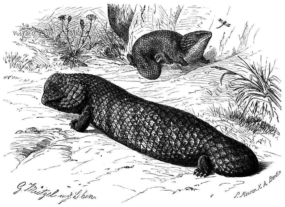 Короткохвост (Trachysaurus rugosus)