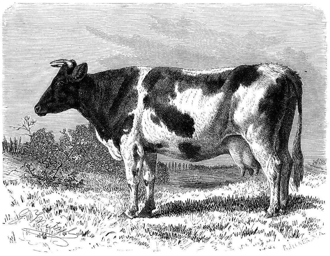 Корова фризской породы (Bos taunts)