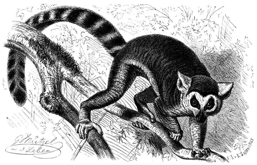 Кошачий лемур, или катта (Lemur catta)