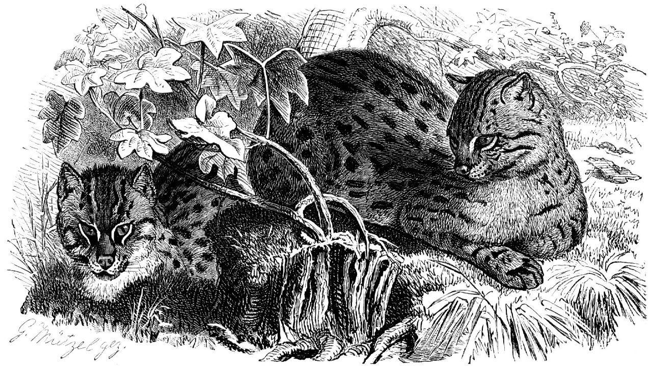 Кошка-рыболов (Prionailиrus viverrinus)
