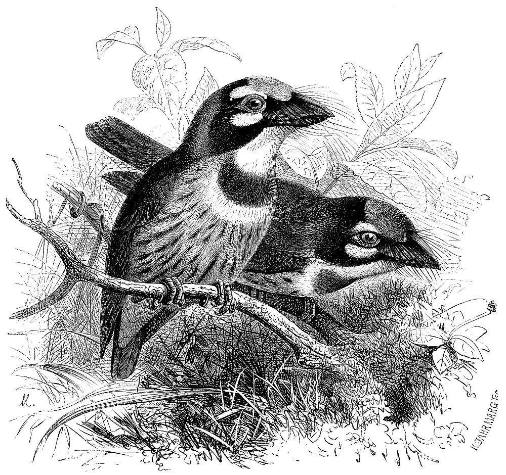 Красноголовый бородастик (Megalaima haematocephala)