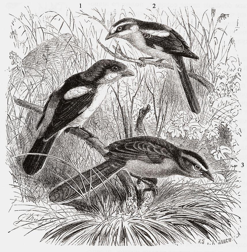 1 -Красноголовый сорокопут (Lanius senator) 2 -Маскированный сорокопут (Lanius nubicus) 3 -Чагра (Tchagra senegala)