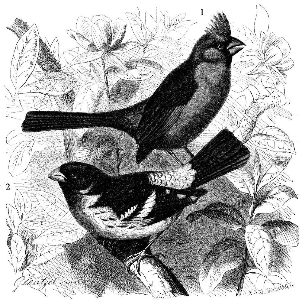 1 - Красногрудый кардинал (Pheucticus ludovicianus) 2 - Красный кардинал (Cardinal is cardinalis)