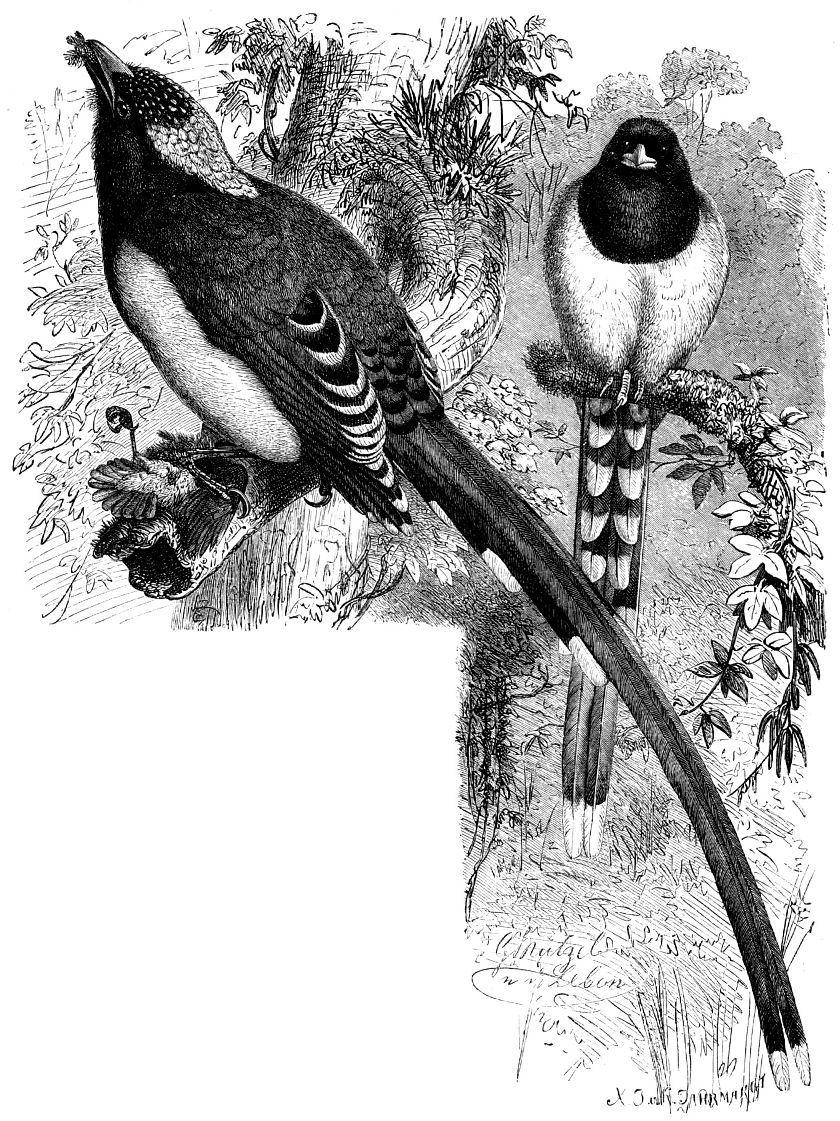Красноклювая лазоревая сорока (Urocissa erythrorhyncha)