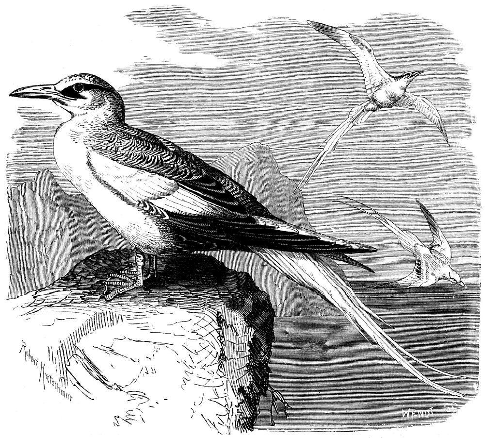 Красноклювый фаэтон (Phaeton aethereus)