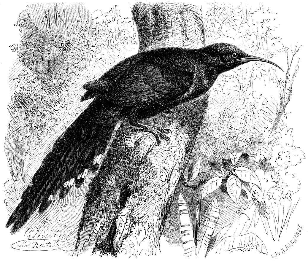 Красноклювый лесной удод (Phoeniculns purpureus)