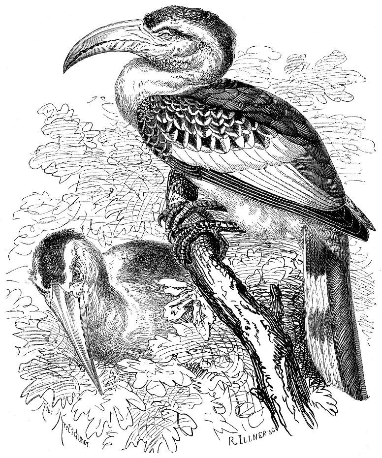 Красноклювый токо (Tockus erythqfliynchus)