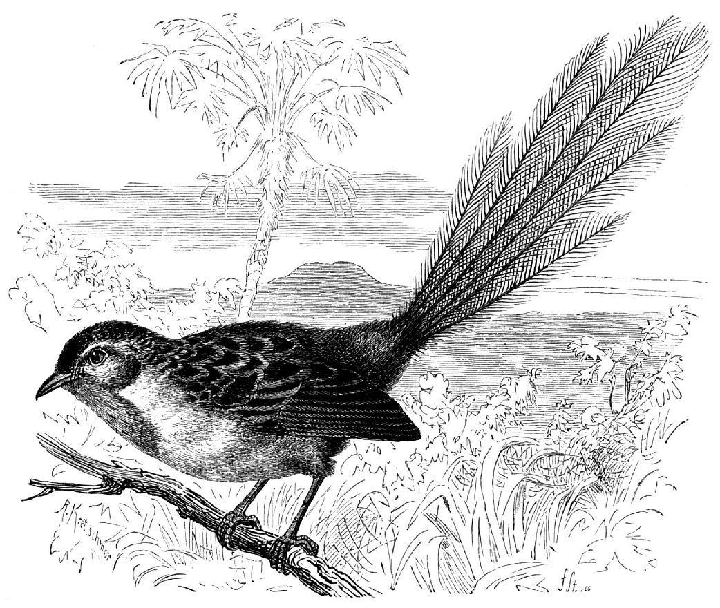 Краснолобый мягкохвостый малюр (Stipiturus malachwus)