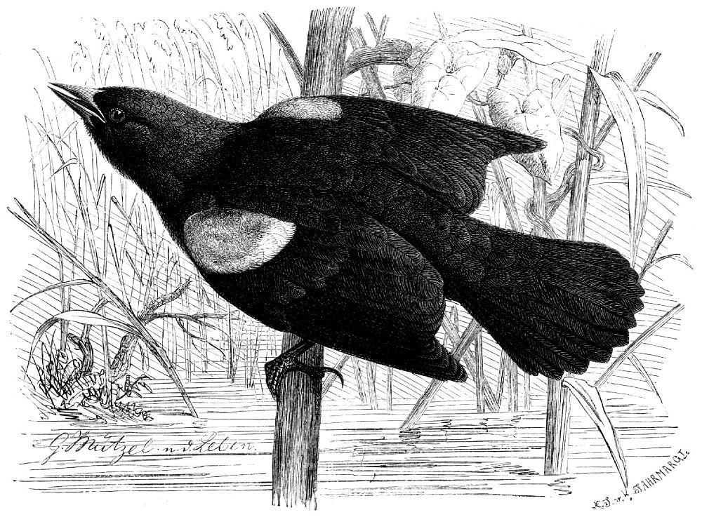 Красноплечий черный трупиал (Agelaius phoeniceus)