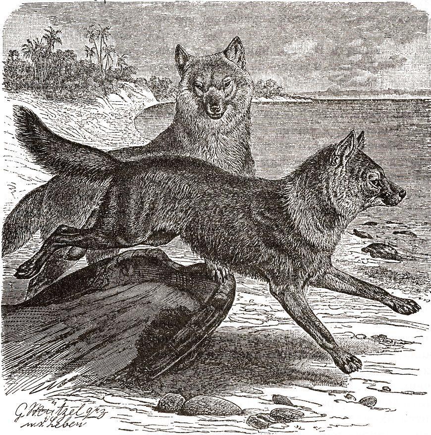Красный волк (Сion atpinits) (южные подвиды, Индостан)