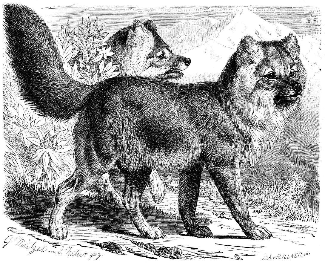 Красный волк (Суon alpinus) (горные подвиды)