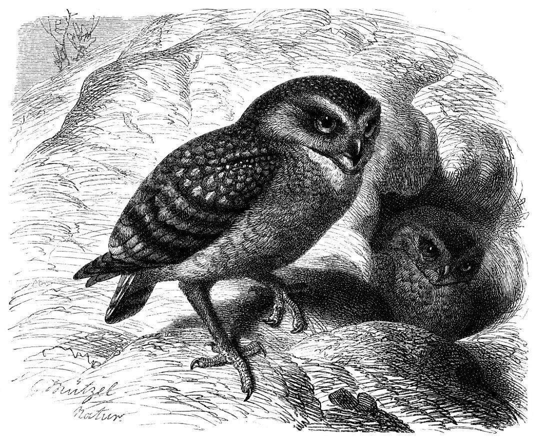 Кроличий сыч, или пещерная сова (Athene cunicularia)