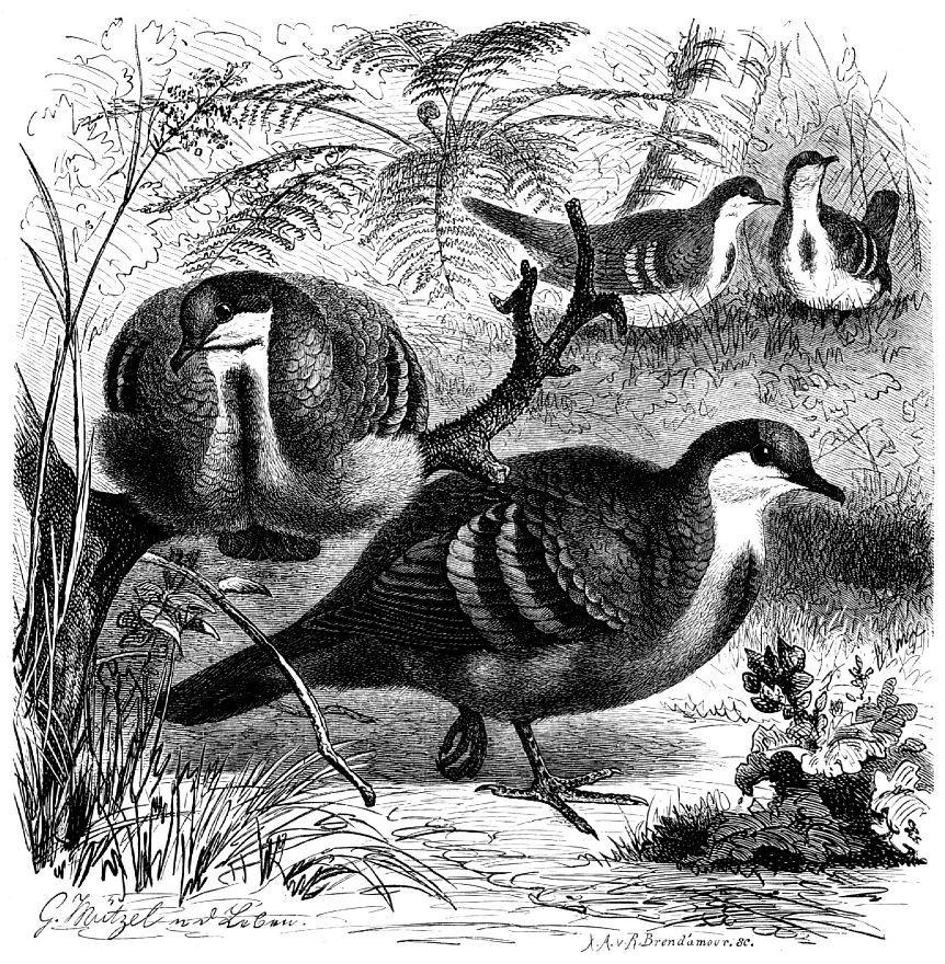 Кровавогрудый куриный голубь (Gallicolumha luzonica)