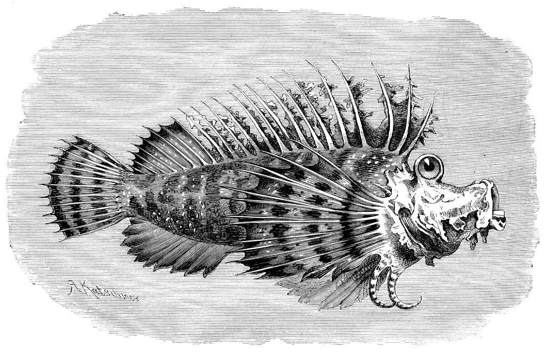 Крючкопалая бородавчатка (Scorpaena didactyhtm)
