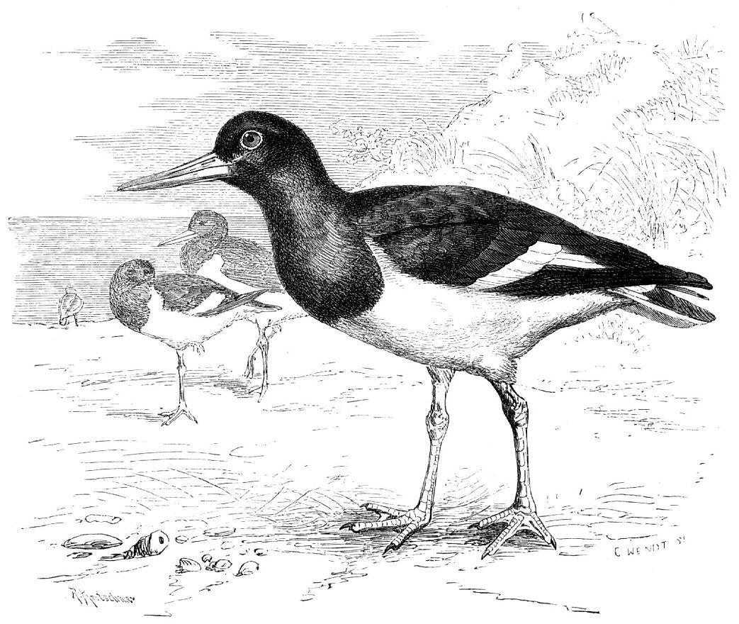 Кулик-сорока (Haematopus ostralegus)