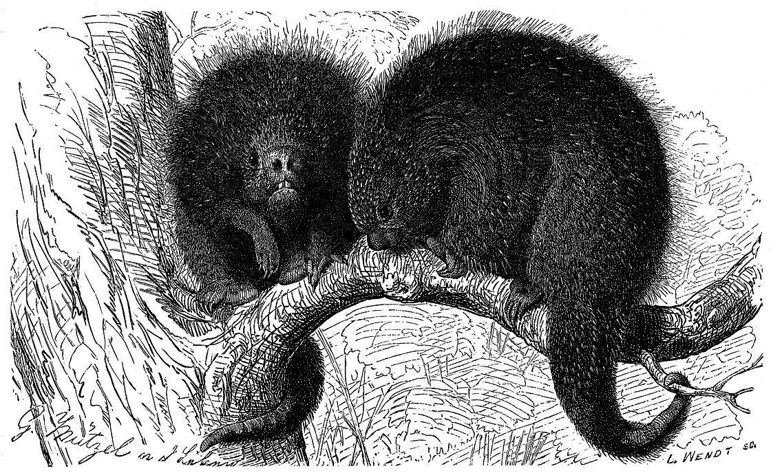 Кюий, или бразильский дикобраз (Sphiggurus insidiosus)