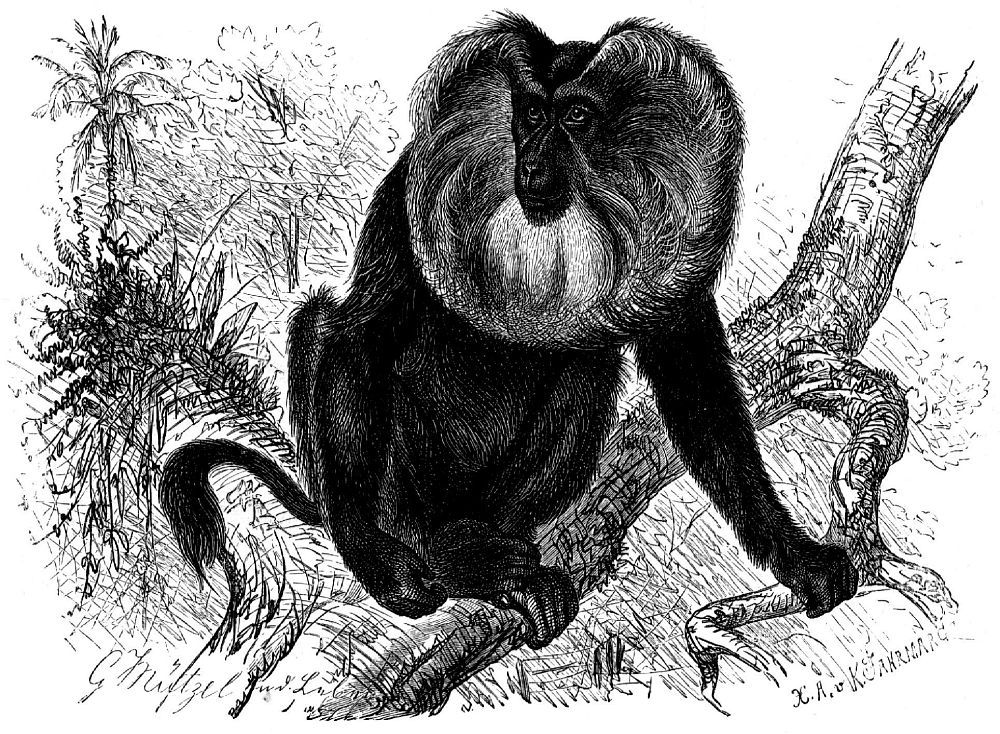 Львинохвостый макак, вандеру (Масаса silemts)