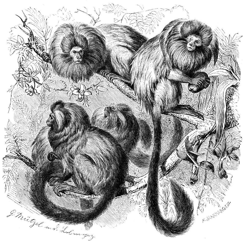 Львиные игрунки, или розалии (Leontopithecus rosalia)