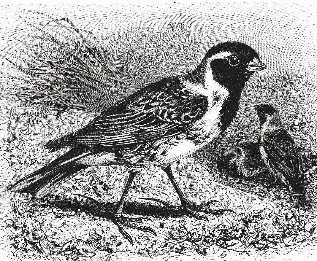 Лапландский подорожник (Calcarius lapponicus)