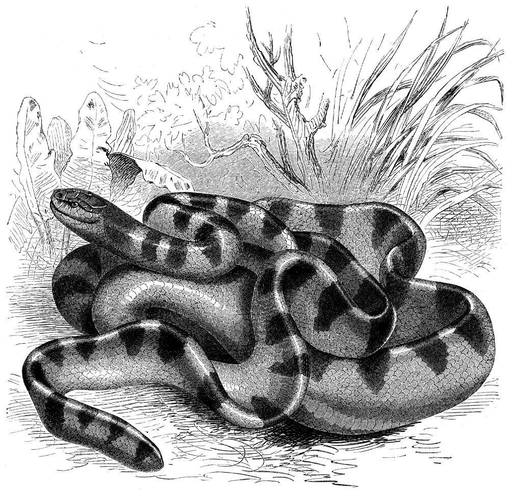 Ластохвост синеполосатый (Hydrophis cyanocincta)