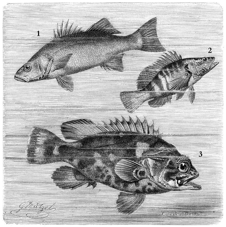 1 — Лаврак (Dicentrarchus labrax) 2 - Каменный окунь (Serranus scriba) 3 - Обыкновенный полиприон (Polyprion americanus)