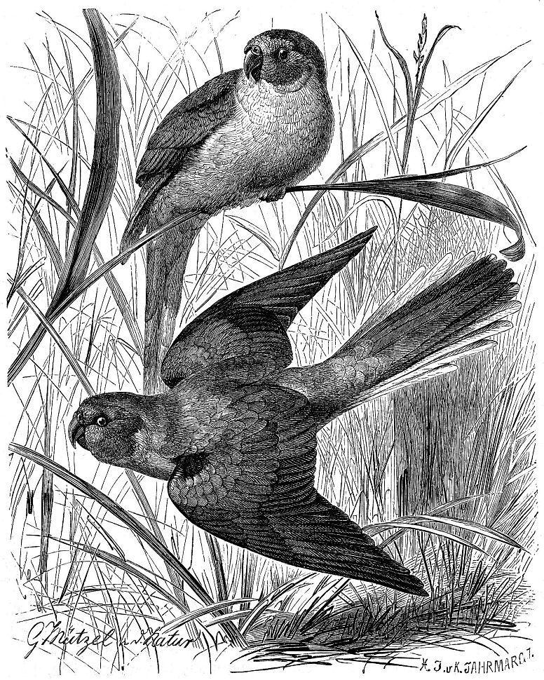 Лазурный травяной попугайчик (Neophema pulchella)