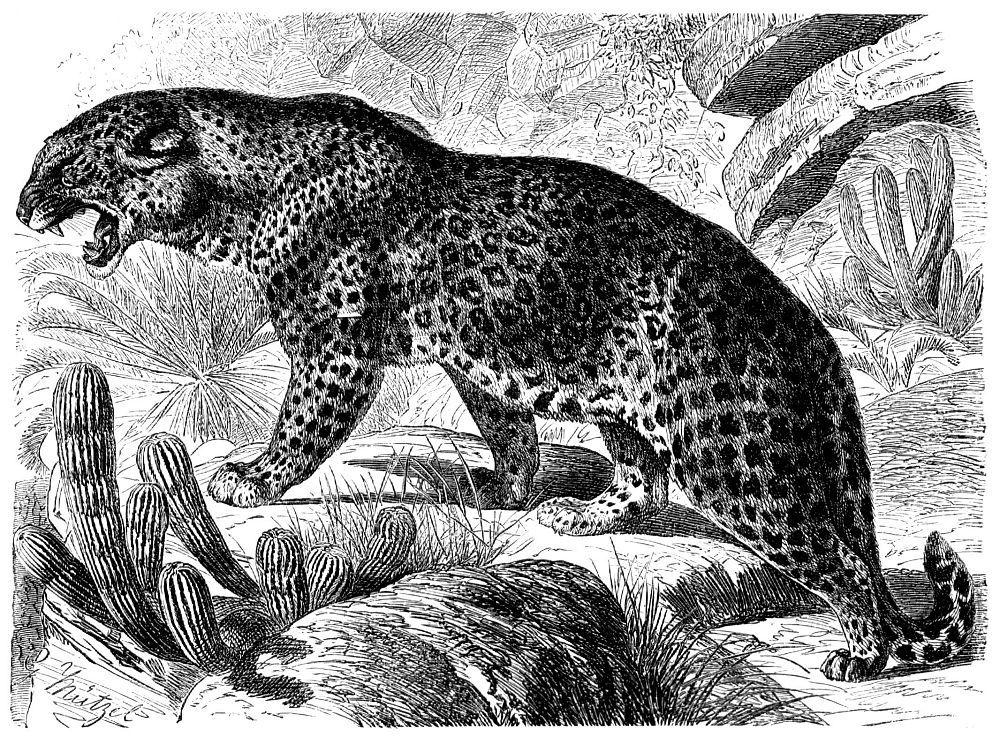 Леопард (Pantherа pardus)