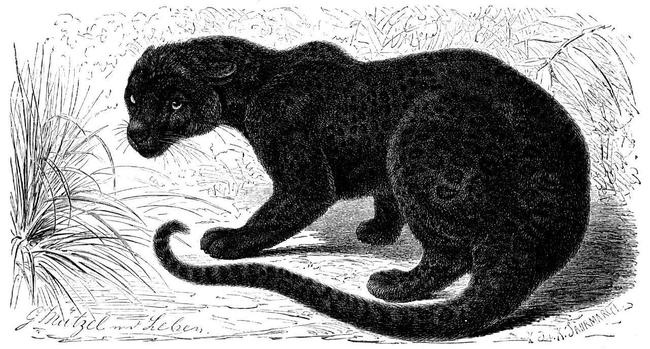 Леопард (черная пантера, меланист) (Pantherа pardus)