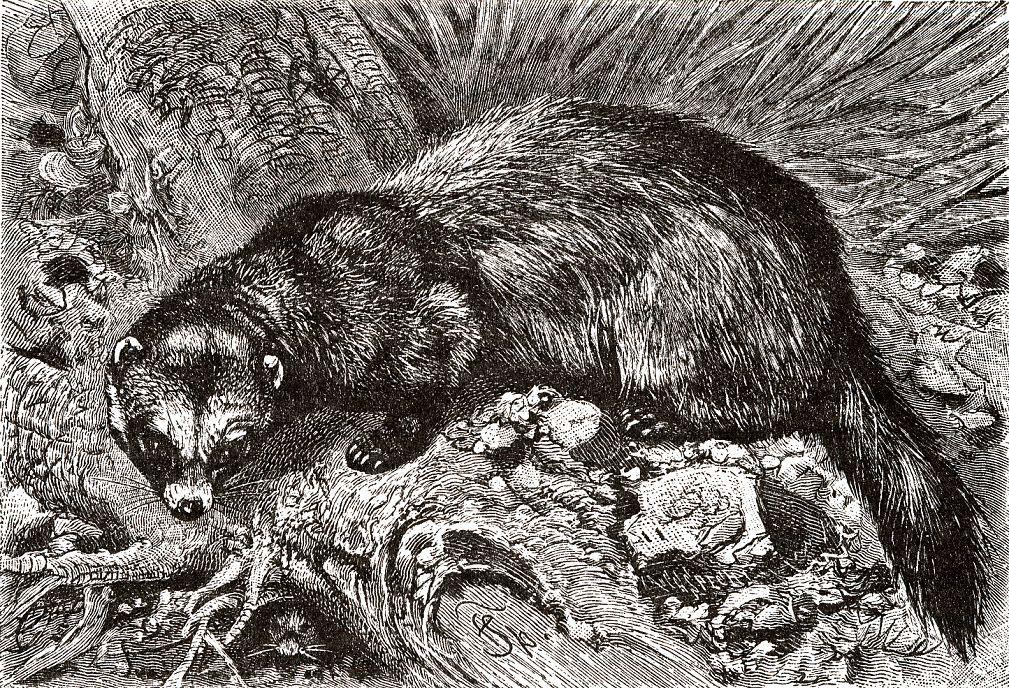 Лесной хорь (Mustela putorius)