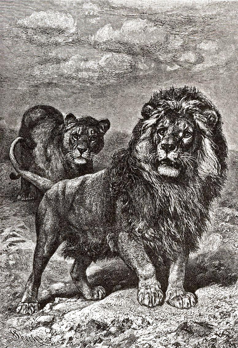 Лев (Pantherа leo)