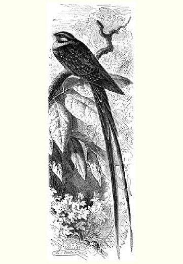 Лирохвостый козодой (Macropsalis creagra)