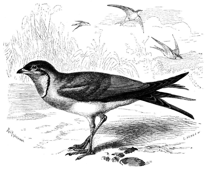 Луговая тиркушка (Glareola pratincola)