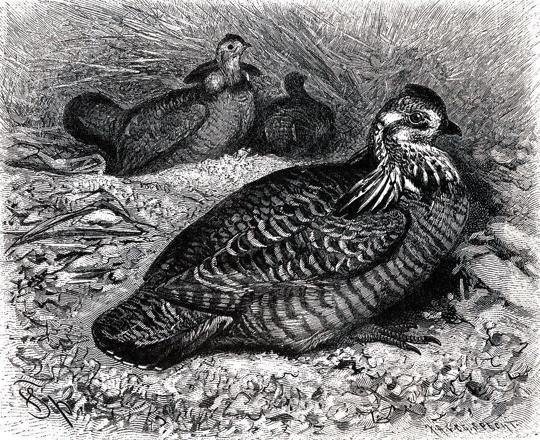 Луговой тетерев (Tympcmuchus cupido)